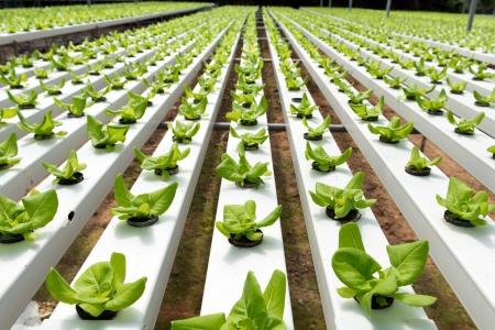 invernadero: Vegetales hidrop�nicos crecen en invernadero a Cameron Highlands Foto de archivo