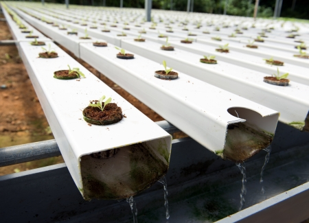 hydroponic: Hydroponic vegetables growing in greenhouse at Cameron Highlands