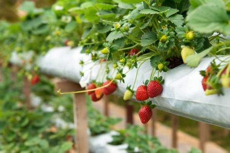 Biologische aardbeien plant groeit in groene huis