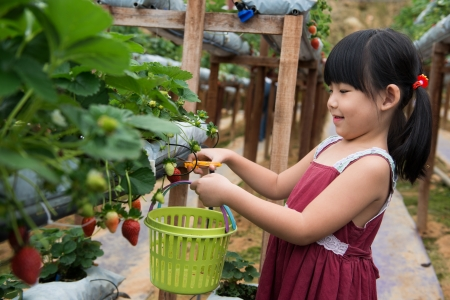 plucking: Little child is plucking strawberry in farm Stock Photo