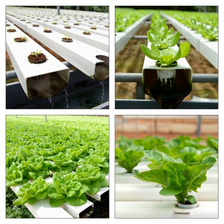 Collage of hydroponic vegetables in greenhouse at Cameron Highlands