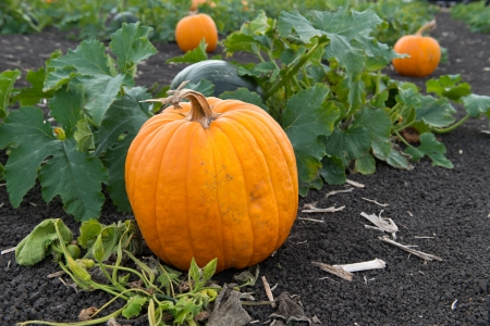 Pumpkins in pumpkin patch ready for harvest photo