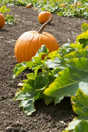 Pumpkins in pumpkin patch ready for harvest Stok Fotoğraf