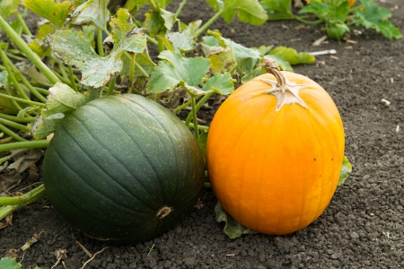 Orange pumpkin and green pumpkin on the soil photo