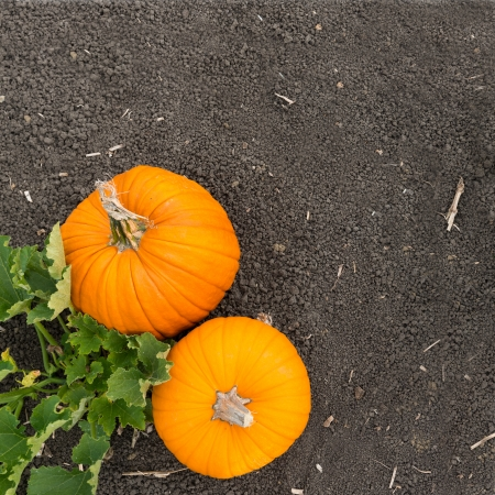 View from top of orange pumpkins on the soil photo