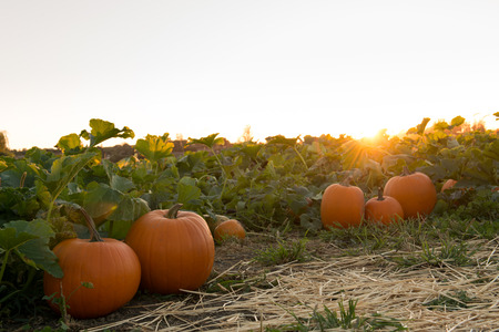 Pumpkins in pumpkin patch ready for harvest Stock Photo