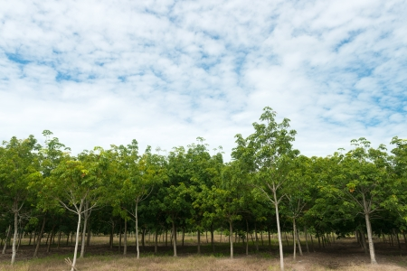 rubber plant: Rows of rubber trees against cloudy blue sky Stock Photo