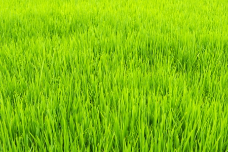 Close up of paddy field in Asia country