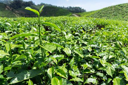boh: Tea leaves on tea plantation in Cameron Highlands, Malaysia Stock Photo