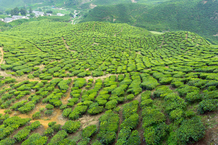 boh: Landscape with tea plantation in Cameron Highlands, Malaysia Stock Photo