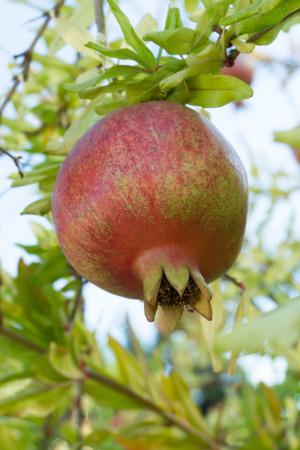 hang up: Fresh ripe pomegranate hang on the tree