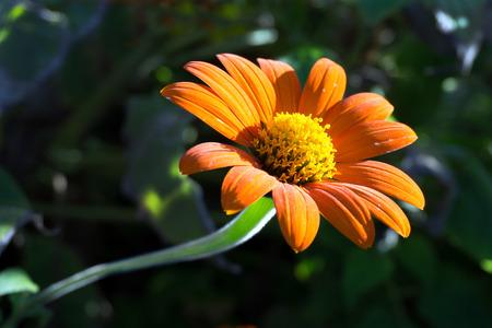 stami: Primo piano di margherita arancio con stami gialli fiore
