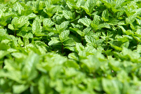 cameron highlands: Organic mint plantation in Cameron Highlands, Malaysia Stock Photo