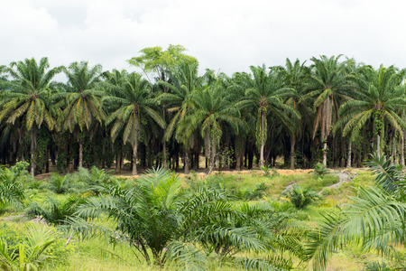 Palm oil plantation with both young and mature palm trees Stock Photo