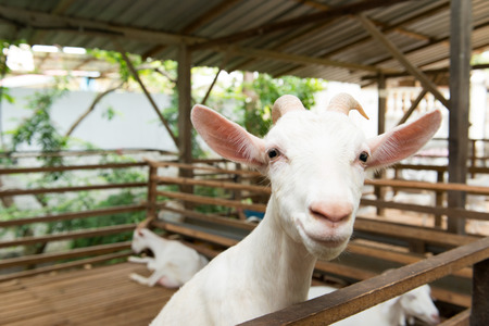 Close up of white goat in farm