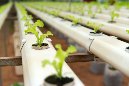 farming industry: Hydroponic vegetables growing in greenhouse at Cameron Highlands