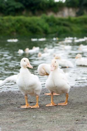 Reifen weißen Enten in Entenfarm mit Teich an der Seite