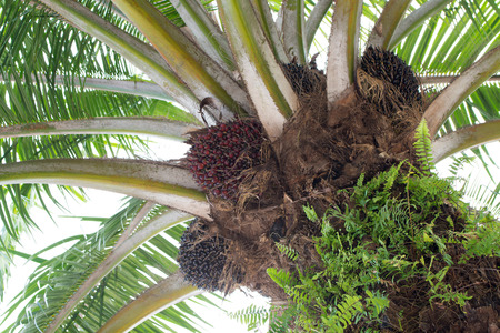 Close up of bunches of oil palm fruit on tree