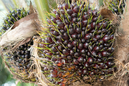 oil palm: Close up of bunches of oil palm fruit on tree