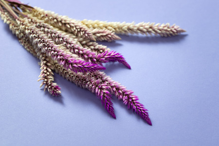 tipped: Dried pink and purple tipped firework fountain grass
