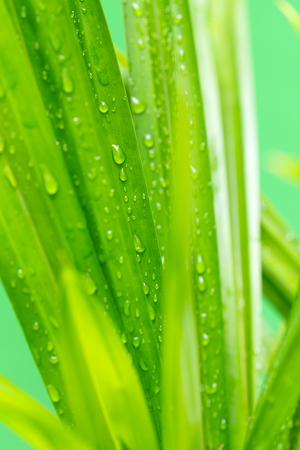 Close up of fresh pandan leaves wet with dew Stock Photo