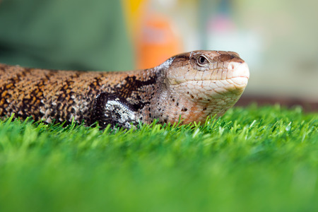 Close up of lizard on the grass Stock Photo