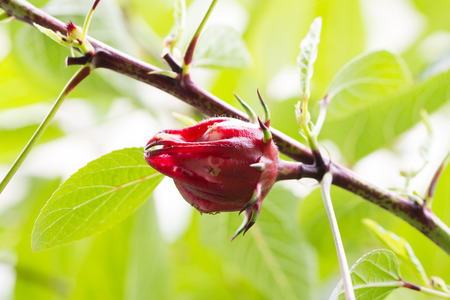 Close up of roselle fruits on plant