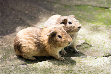 Close up of two hamsters in petting zoo Stock Photo