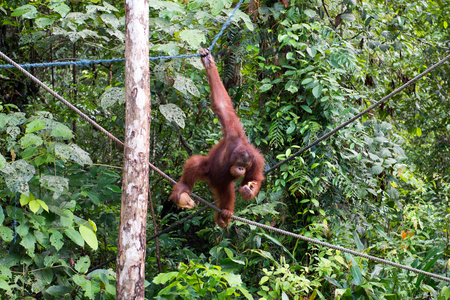 Orang utan climbing on a tree in the forest of Borneo island