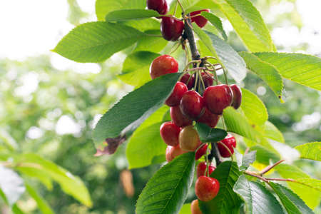 Cherry tree with ripe cherries in the garden