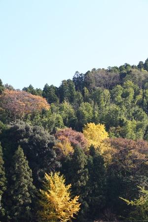 radiacion solar: Hab�a varios �rboles fueron las hojas amarillas en el bosque de monta�as bajas en el campo en oto�o.