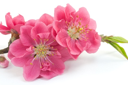 This is a picture of plum flowers is typical of the spring flower of Japan  photo