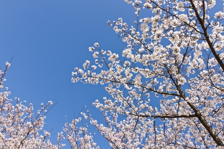 This is a picture of cherry blossoms were blooming in the park.