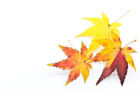 This is a picture of colored maple leaves in autumn