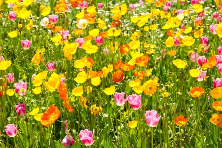 tulips and poppies blooming in the flower bed  photo