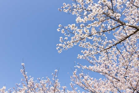 cherry blossoms blooming in the park  photo