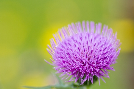 thistle flower in the field  photo