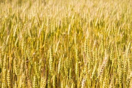 This is a picture of wheat fields in early summer I have taken in May Stock Photo - 13720103