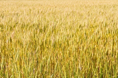 This is a picture of wheat fields in early summer I have taken in May Stock Photo - 13720104