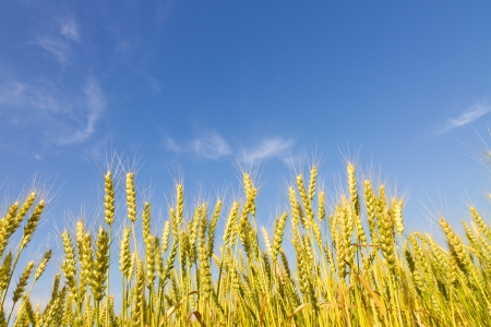 This is a picture of wheat fields in early summer I have taken in May  photo