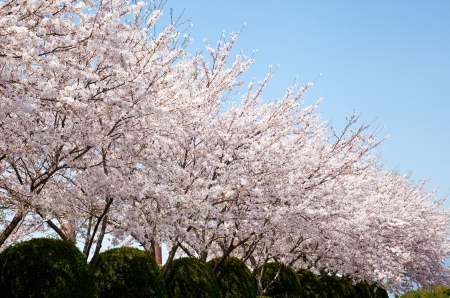 This is a picture of the forest of cherry blossoms was taken to a sunny day