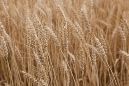 This is a picture of wheat field just before harvest  Stock Photo - 13950954