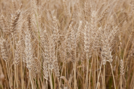 This is a picture of wheat field just before harvest Stock Photo - 13950960