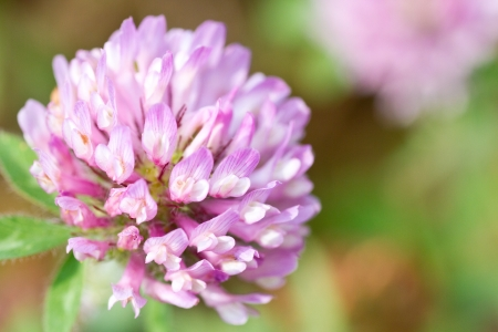 This is a picture of the flower of Globe Amaranth  photo