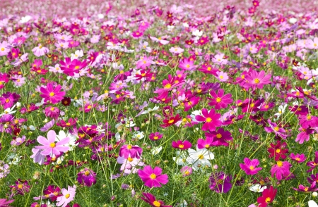 cosmos flowers: This is a picture of the cosmos garden was taken in the autumn of last year.