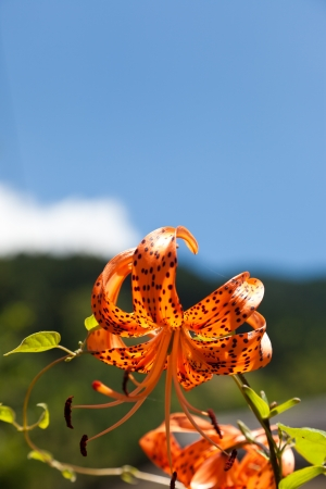 This is a picture of Tiger Lily I was taken in August. photo