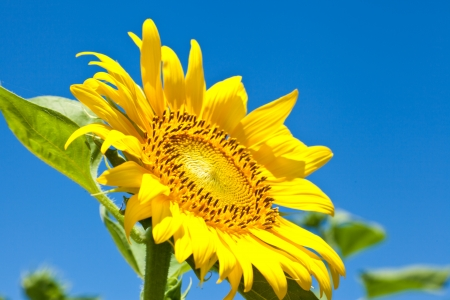 This is a photograph of a sunflower that I have taken in July. Stock Photo