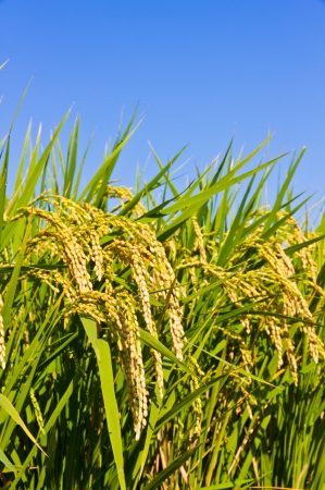 This is a picture of ear of rice and the blue sky that I have taken in the fall.