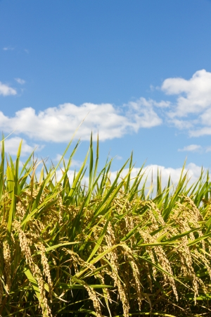 This is a photograph of a rice paddy field that I have taken in September. Stock Photo - 15606408