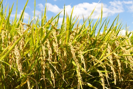 This is a photograph of a rice paddy field that I have taken in September  Stock Photo